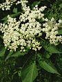 Sambucus nigra1.jpg