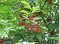 Sambucus racemosa Pryma.jpg