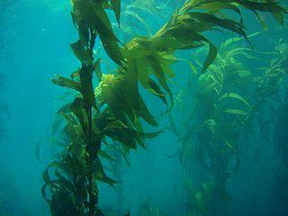 species of kelp