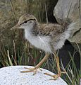 Sandpiper chick (9066497199) (cropped).jpg