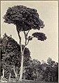 Sapindus Thurstonii.jpg