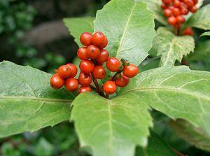 Chloranthaceae - Sarcandra glabra
