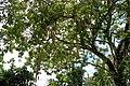 Sausage Tree (2490296992).jpg