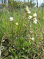 Saxifraga granulata sl4.jpg