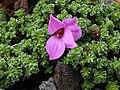Saxifraga oppositifolia `Theoden` 1.jpg