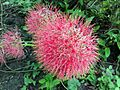 Scadoxus (Fireball Lily).jpg