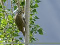 Scaly-bellied Woodpecker (Picus squamatus) (31813164238).jpg