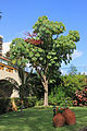 Schefflera actinophylla 01.JPG