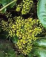 Schefflera wallichiana 06.JPG