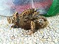 Scorpionfish (Scorpaenidae) caught at Bedok Jetty, Singapore - 20101204.jpg