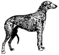 Scottish deerhound (PSF).png