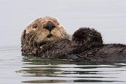 260px Sea otter morro bay 13 - Deniz ya�am�n� korumaya �al��anlar fanclup:(
