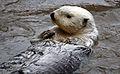 Sea Otter 3.jpg