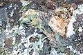 Sedum paradisum Shirtale Peak 012 (8345874431).jpg