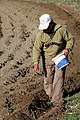 Seeding Fava (5285359244).jpg