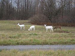 Seneca White Deer - Wikipedia, the free encyclopedia