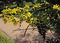 Senna siamea leaves and flowers 05.jpg
