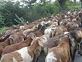 Sheep...1.JPG