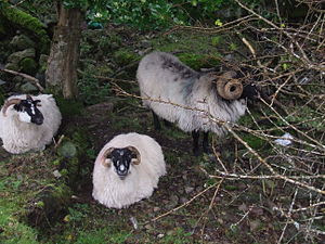 Wild Atlantic Way - Sheep in a paddock by the Great Western Greenway near Mulranny. November 2014