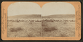 Sheep grazing, Snake River valley, Idaho, U.S.A, by Keystone View Company.png