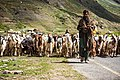 Shepherd's Migration A shepherd is moving towards the lower part of the region due to the upcoming extreme winter - Shepherds in Pakistan.jpg