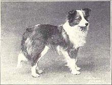 Image Result For Icelandic Dog