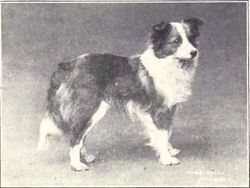 Shetland Sheepdog from 1915.JPG