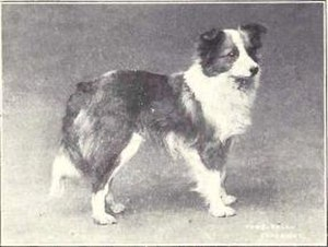 Shetland Sheepdog - Photograph of a Shetland sheepdog from 1915