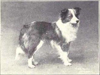 Shetland Sheepdog - Photograph of a Shetland sheepdog from 1915