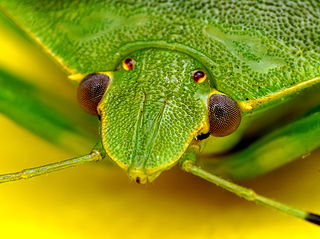 Green stink bug species of insect
