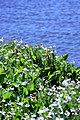 Shoreline Park, Mountain View California aquatic plants IMG 2745-18.jpg