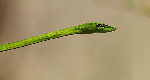 Short-nosed Vine Snake ( Ahaetulla prasina).jpg