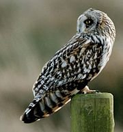 Short Eared Owl (Asio flammeus) - cropped.jpg