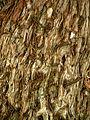 Siğil dedesinin gövdesi - panoramio (1).jpg