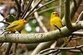 Sicalis flaveola (Canario coronado) (8) - Flickr - Alejandro Bayer.jpg