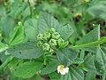 Sida rhombifolia fruit2 (15957653047).jpg