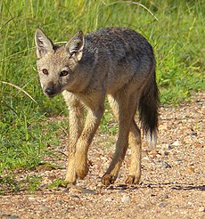 Side-striped Jackals (Canis adustus)- rare sighting of this nocturnal animal ... (13799101285).jpg