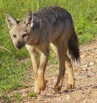 Serer creation myth - Side-striped jackal in Kruger National Park, South Africa.