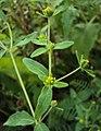 Sigesbeckia orientalis 07.JPG