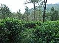 Sitargundu Estate, Kollengode South, Kerala 678508, India - panoramio (17).jpg