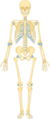 Skeleton 1 -- Smart-Servier.png
