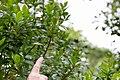 Smultronträd (Arbutus unedo)-1 - Flickr - Ragnhild & Neil Crawford.jpg
