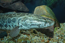 how to catch northern snakehead