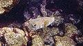 Snorkeling Karpata Reef, Bonaire (12842331664).jpg