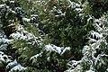 Snow falling on cedars 3.jpg