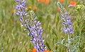 So Cal Wildflowers 2015 (102325609).jpeg
