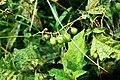 Solanum carolinense 1391374.jpg
