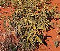Solanum centrale growth form.jpg