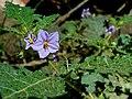 Solanum ditrichum Allyn.jpg