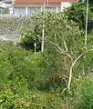 Solanum erianthum yanbarunsb01.jpg